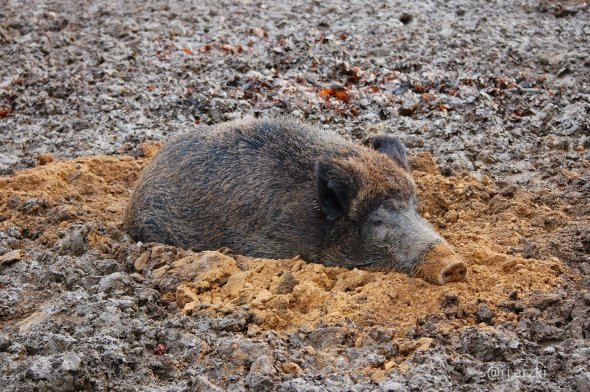 wildboar-web