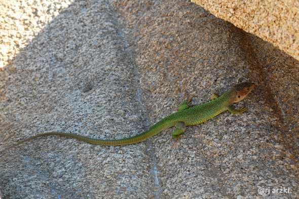lizard_205_small